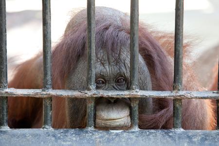 the hand of an orangutan in captivity Stock Photo