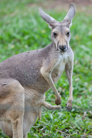 Wallaby with a Joey in the pouch