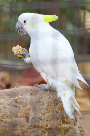 sulphur crested cockatoo in a cage