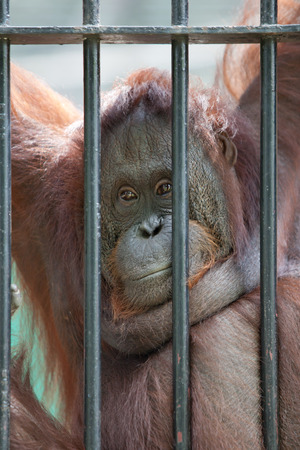 cage gorilla: the hand of an orangutan in captivity Stock Photo