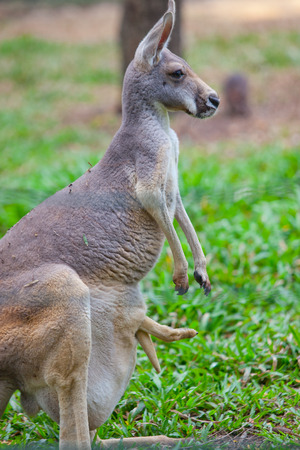 joey: Wallaby with a Joey in the pouch