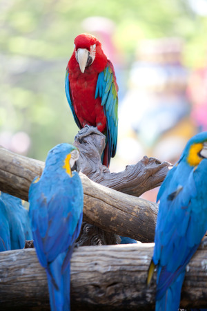 beautiful Scarlet macaws photo