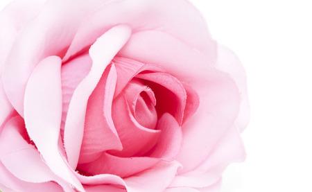 rosas rosadas: rosa aislada en el fondo blanco