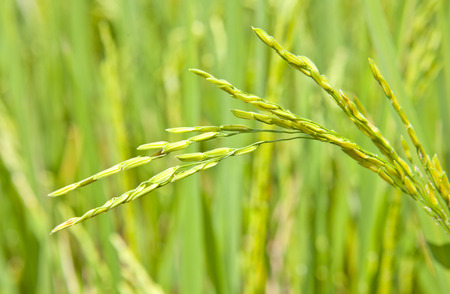 nearly: rice crop nearly ready for harvest Stock Photo