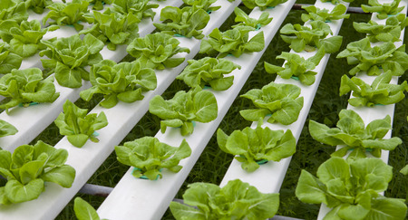 grown: Vegetable grown in a hydroponic system Stock Photo