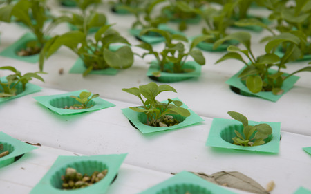hydroponic: Vegetable grown in a hydroponic system Stock Photo