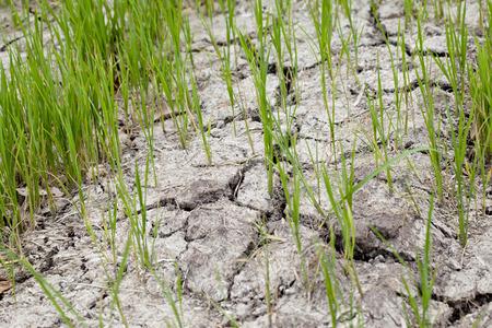 Rice plant in rice farm on crack soil