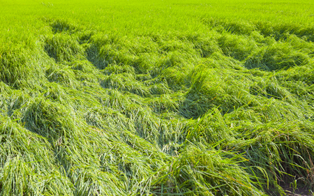 Rice fields falling down after the storm.