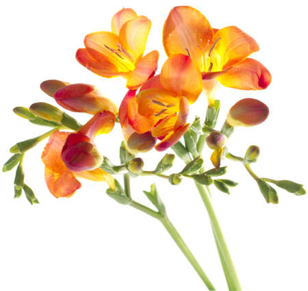 freesia: three different colors of freesia on white background
