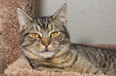 gray tabby: Gray tabby cat laying on cat tree
