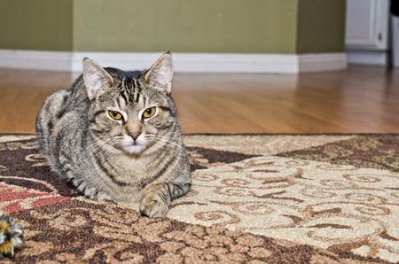 gray tabby: Gray tabby cat laying on carpet Stock Photo
