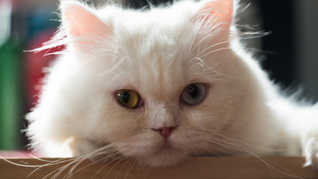 cat eye: cute white Persian cat two color eyes