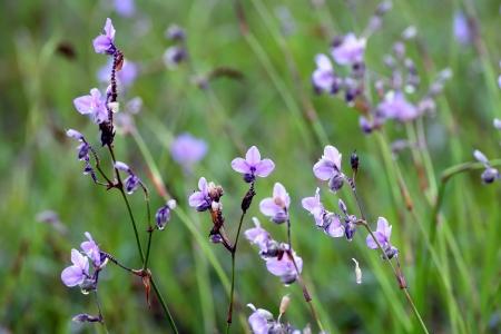 landrace: Murdannia giganteum Vahl Br violet the  landrace flower in Puisoidao National park of thailand