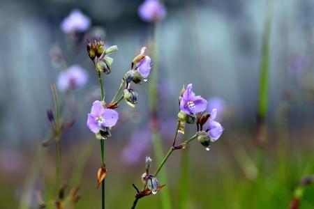 landrace: Murdannia giganteum Vahl Br violeta de la flor de raza criolla en el Parque Nacional de Tailandia Puisoidao Foto de archivo