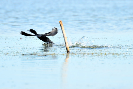 the cormorant fly and landing on lake photo