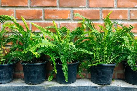 Row of the sword fern in plastic pot near brick wall