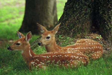 Spotted Whitetail Deer Fawns - Wisconsin Banco de Imagens