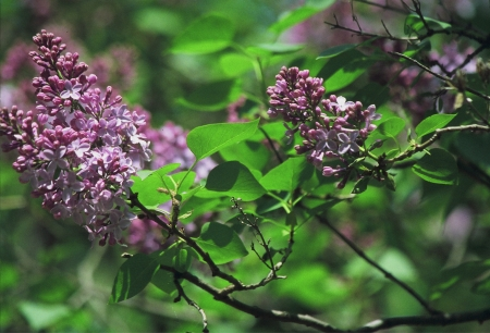 Morning Lilac Expression