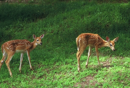 Spotted whitetail Fawns In A Field Banco de Imagens