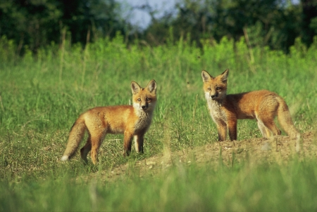 pups: Red Fox Pups Standing By Den