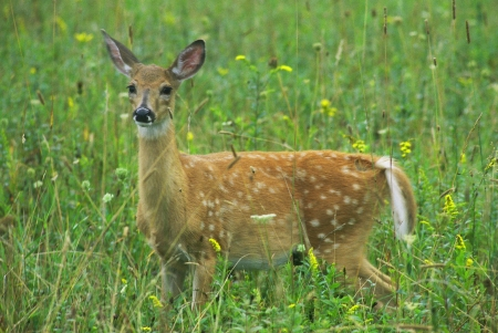 spotted: Spotted Whitetailed Deer Fawn Stock Photo