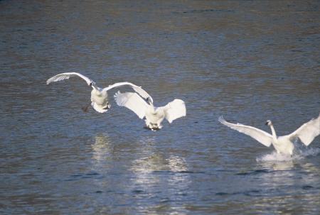 Trumpeter Swans Landing photo