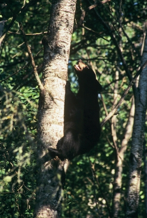 Tree Top Escape - Black Bear Cub Stock Photo - 22699204