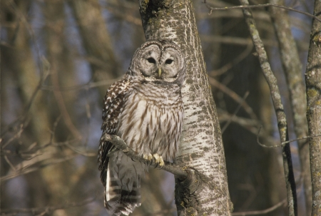 cameo: Northern Barred Owl Cameo Stock Photo