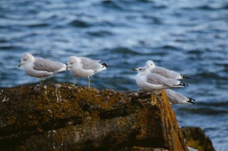 Ring-Billed Seagull Rock Retreat  Фото со стока