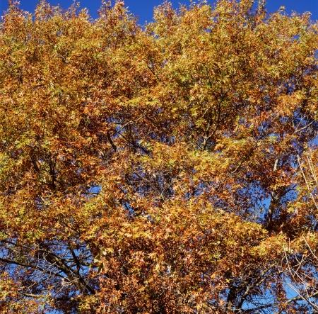 oaken: Sunny Autumn Oaken Canopy - Minnesota