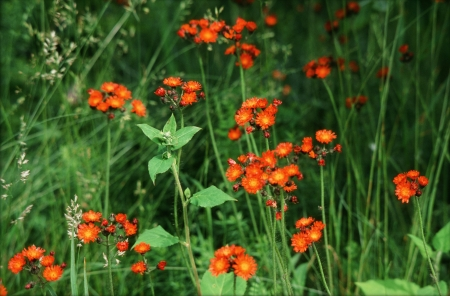 hawkweed: Orange Hawkweed In Green Meadow