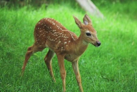 Spring Morning Deer Fawn Portrait - Wisconsin Фото со стока
