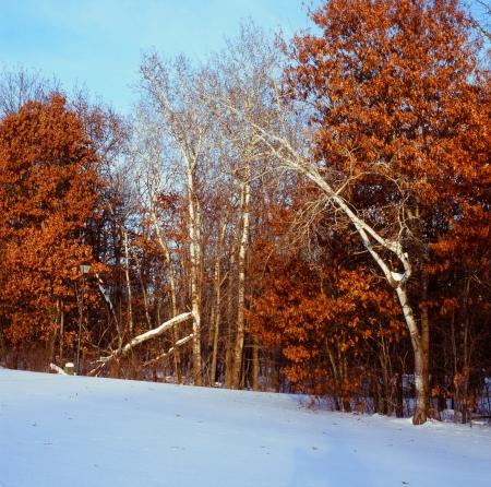 白樺、オークと雪 - ミネソタ州 写真素材