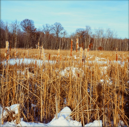 spent: Spent Winter Cattails - Minnesota