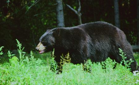Summer Black Bear Stroll - Northern Minnesota