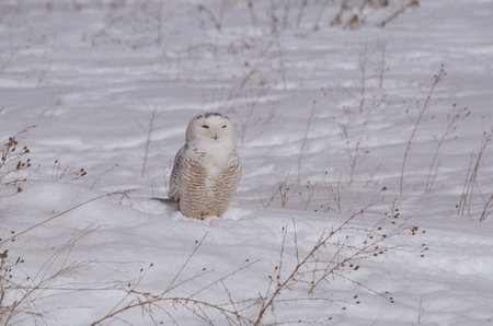 afield: Snowy Owl Afield In Winter