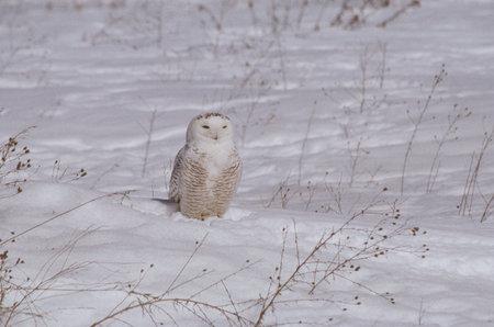 afield: Snowy Owl Afield In Winter