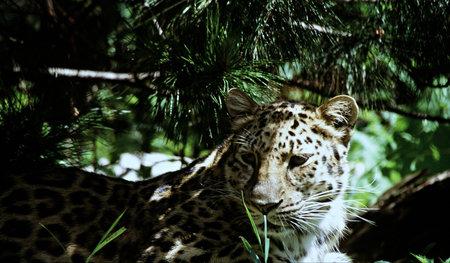 conformation: Amur Leopard Conformaci�n