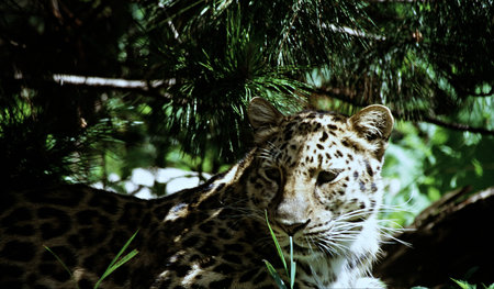 the amur: Amur Leopard Conformation