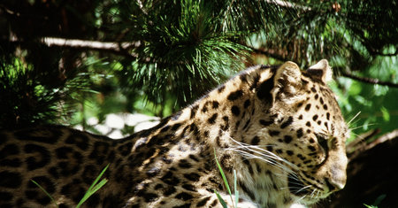 the amur: Amur Leopard In The Light