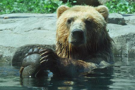 alaskan bear: Bathing Alaskan Brown Bear - Minnesota Zoo