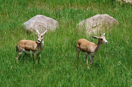 positioned: Two Goitered Gazelles Positioned In A Green Meadow Stock Photo