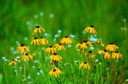 Brown-Eyed Susan Wildflower Blossoms