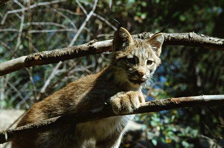 Lynx Kitten Portrait At The Minnesota Zoological Garden