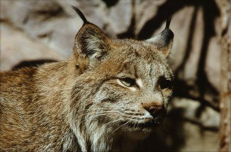 cameo: North American Lynx Cameo