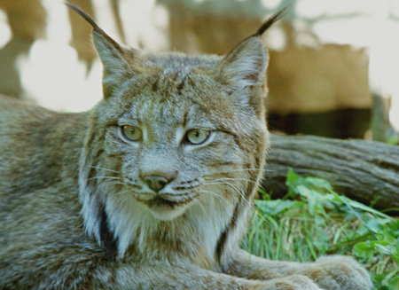 engaging: An Engaging Canadian Lynx Portrait