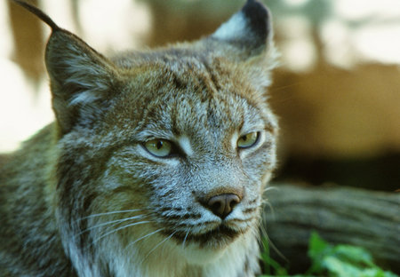 engaging: Engaging Adult Canada Lynx Portrait At The Minnesota Zoo Stock Photo