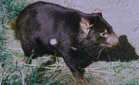cameo: Tasmanian Devil Cameo - Bio Park Zoo, Albuquerque