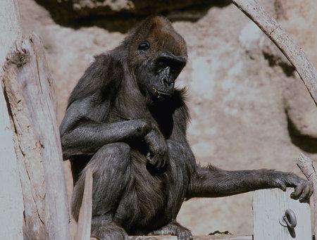 cameo: Young Gorilla Cameo - Bio Park Zoo, Albuquerque, New Mexico