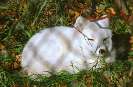 cameo: Summer Cameo Of An Arctic Fox Resting  In Green Grass